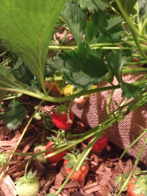 JUICY, RIPE STRAWBERRIES, READY FOR A VERY PLEASANT DEATH